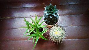 Aloe, Sempervivum и Echinocactus