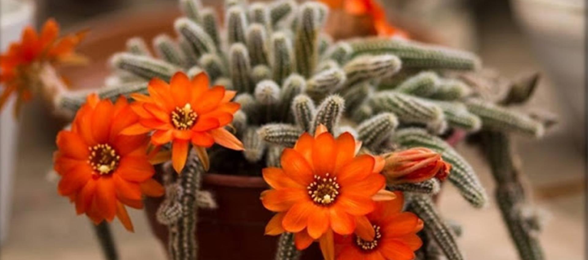 Как да отглеждаме фъстъчен кактус (Echinopsis chamaecereus)