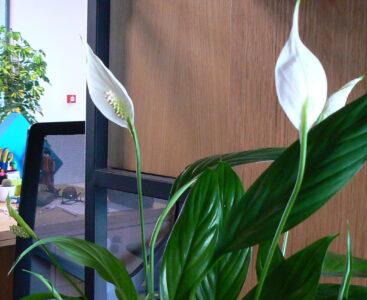 Spathiphyllum – какво е това?
