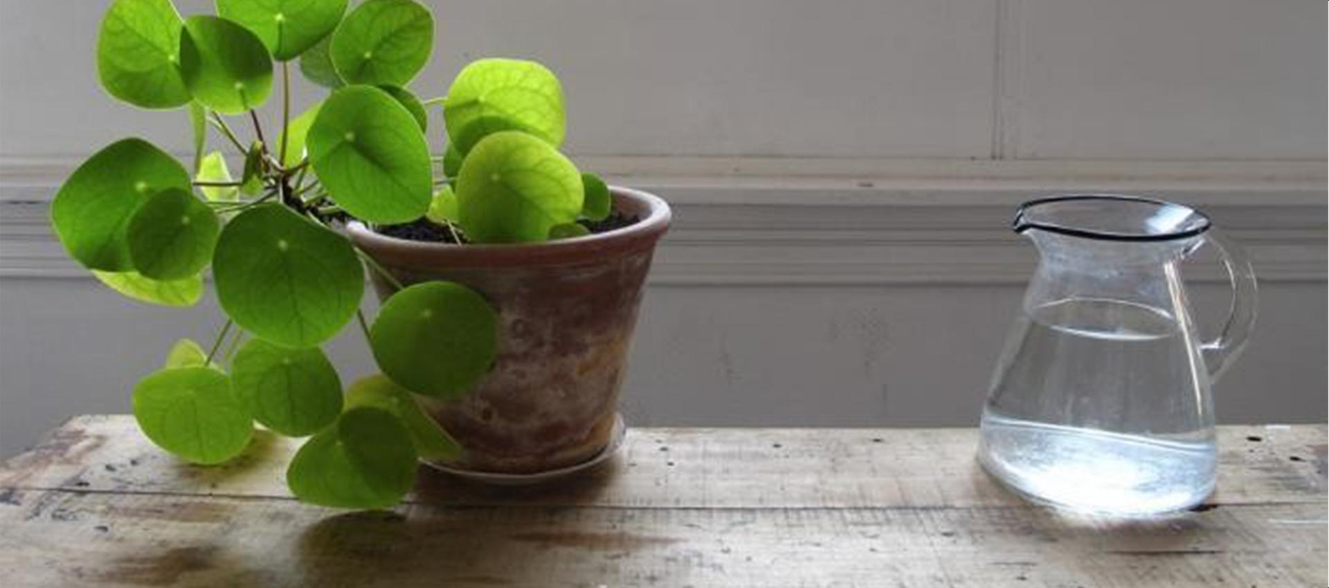 Как да се грижим за стайните растения през зимата – част втора