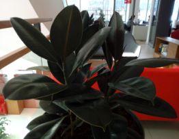 Ficus Elastica Rubra