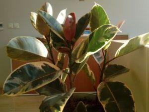 Ficus elastica Teneke