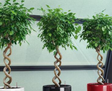 Как да се грижим за Ficus Benjamin
