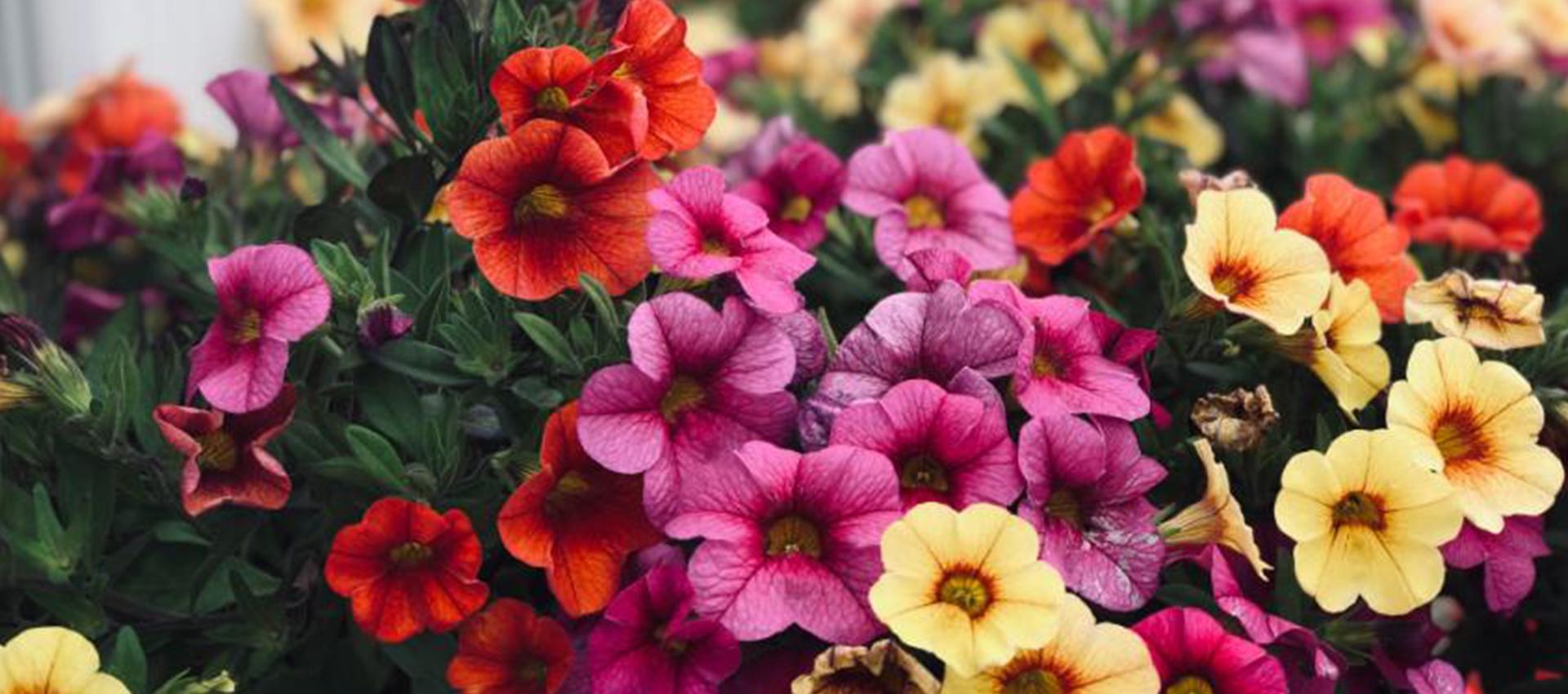 Едногодишни цветя за терасата – част първа