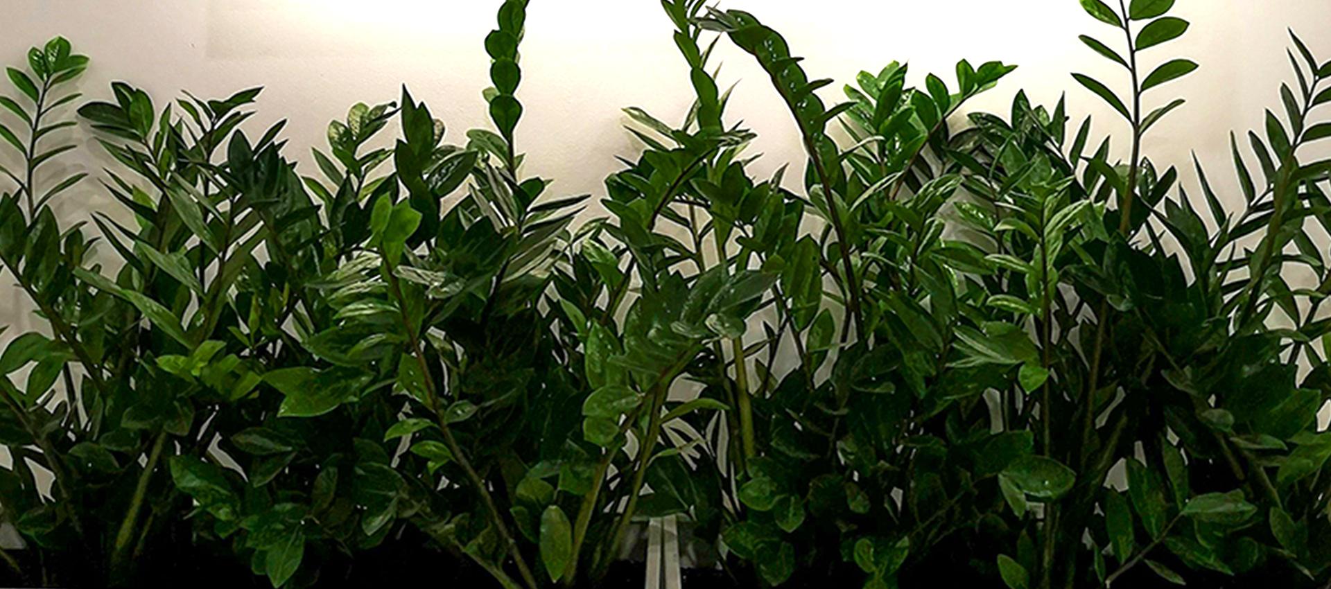 Как да се грижим за Zamioculcas zamiifolia